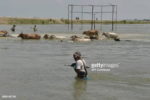 An Indian villager along with the herd of cows crosses a flooded road in Malda in the Indian state of West Bengal on August 24 2017 The death toll...