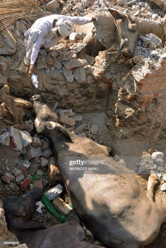 An Indian villager gives water to a injured buffalo after the roof of a cattle shed collapsed on the outskirts of Amritsar on May 30, 2016, as strong winds and heavy rains lashed the northern Indian city. Some ten animals died and another ten were injured as unseasonal weather systems spread over northern India. / AFP / NARINDER