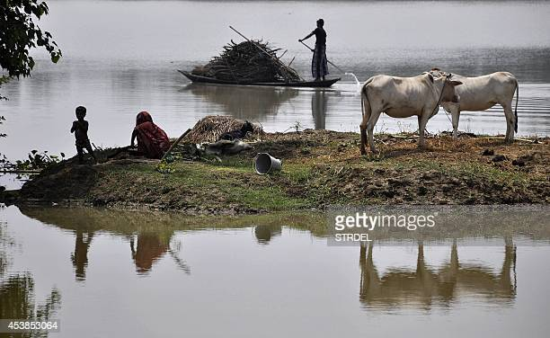 An Indian villager uses a boat to transport firewood through floodwaters as a resident and child sit alongside cattle on partially submerged farmland...
