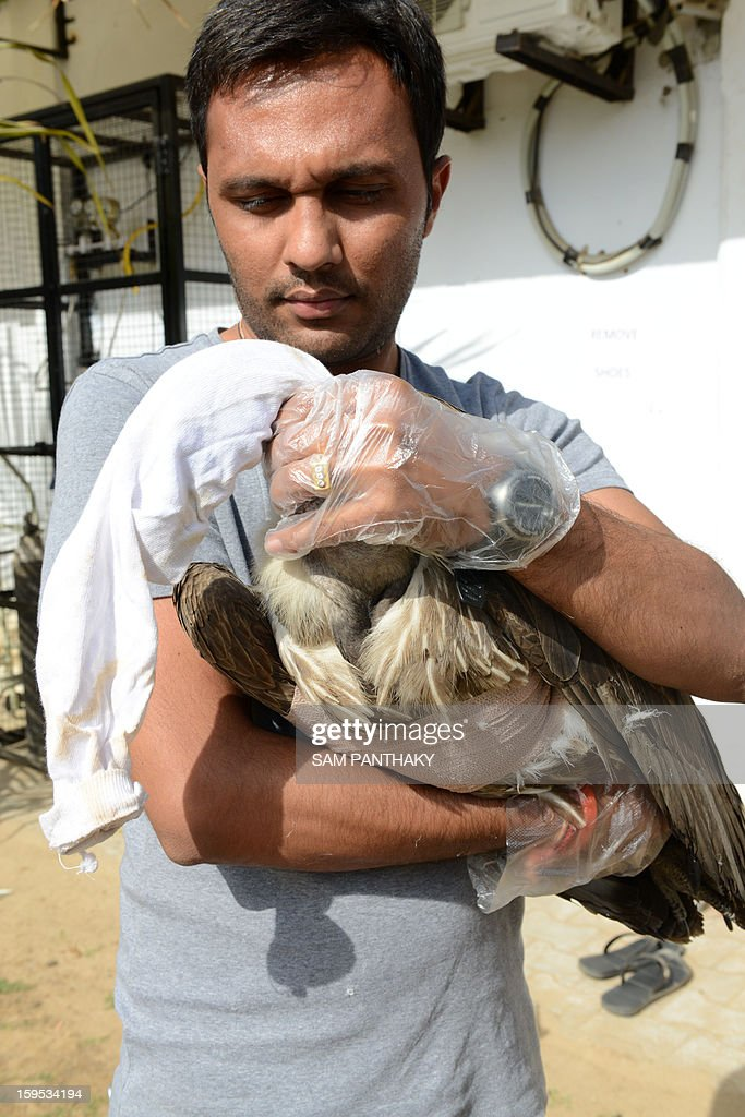 An Indian volunteer shifts an Adult White-backed Egyptian vulture which was injured by a kite string and was operated upon in the Intensive Care Unit (ICU) at Jivdaya Charitable Trust in Ahmedabad on January 15, 2013. Scores of birds, injured by glass-coated 'manja' kite strings used in duelling kite competitions during the Makar Sakranti Kite Festival, are being rescued by volunteers from several non-governmental organisations in coordination with the Gujarat state Forest Department. AFP PHOTO / Sam PANTHAKY