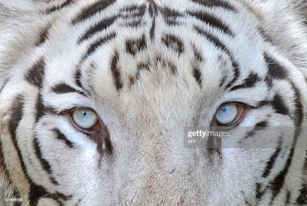 An Indian white Bengal tiger looks on at the Nehru Zoological Park in Hyderabad on 'World Environment Day', June 5, 2010. This year the theme of World Environment Day 2010 is �Many Species. One Planet. One Future.� The theme reflects the important task of saving and conserving the different forms of life on earth. AFP PHOTO/Noah SEELAM