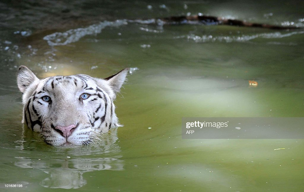 An Indian white Bengal tiger swims towards onlookers at the Nehru Zoological Park in Hyderabad on 'World Environment Day', June 5, 2010. This year the theme of World Environment Day 2010 is �Many Species. One Planet. One Future.� The theme reflects the important task of saving and conserving the different forms of life on earth. AFP PHOTO/Noah SEELAM