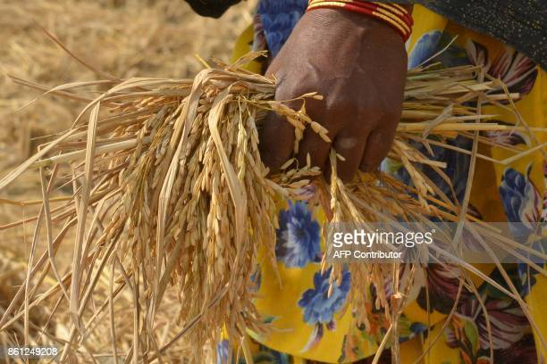 An Indian woman collects remaining paddy stalks after labourers harvested paddy in a field on the outskirts of Amritsar on October 14 2017 / AFP...