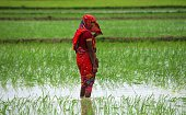 An Indian woman Farmer is working in a paddy rice field India has the largest paddy output in the world and is also the fourth largest exporter of...