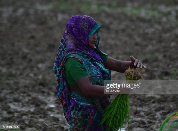 An Indian Woman farmer plants rice seedlings in a paddy field in Sarainayat village23 kms from Allahabad on July 122015 After fears of possible...