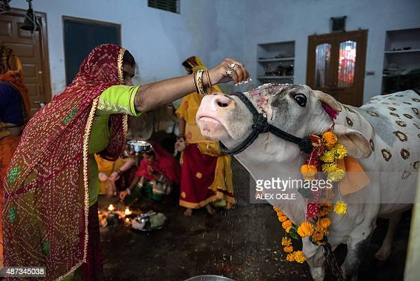An Indian woman sprinkles yoghurt paste onto a cow's forehead during a Hindu Bach Baras ritual to bless the animal in the Rajasthan city of Udaipur...