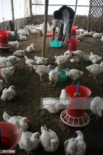 An Indian worker feeds chickens at a poultry farm in Naxalbari some 20 km from the Indian city of Siliguri 23 January 2008 Some 400 chickens have...