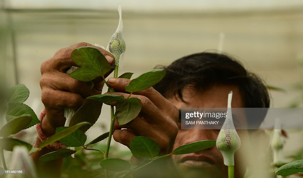 An Indian worker puts a bud cap on a Dutch rose as he works at a greenhouse in the village of Badarkha, some 30 kms from Ahmedabad on February 11, 2013. On the Valentine's Day which falls on February 14, the demand for roses and flowers increases as they are given as gifts. The village has a cold storage facility as well to preserve Dutch roses to meet any last minute demand. AFP PHOTO / Sam PANTHAKY