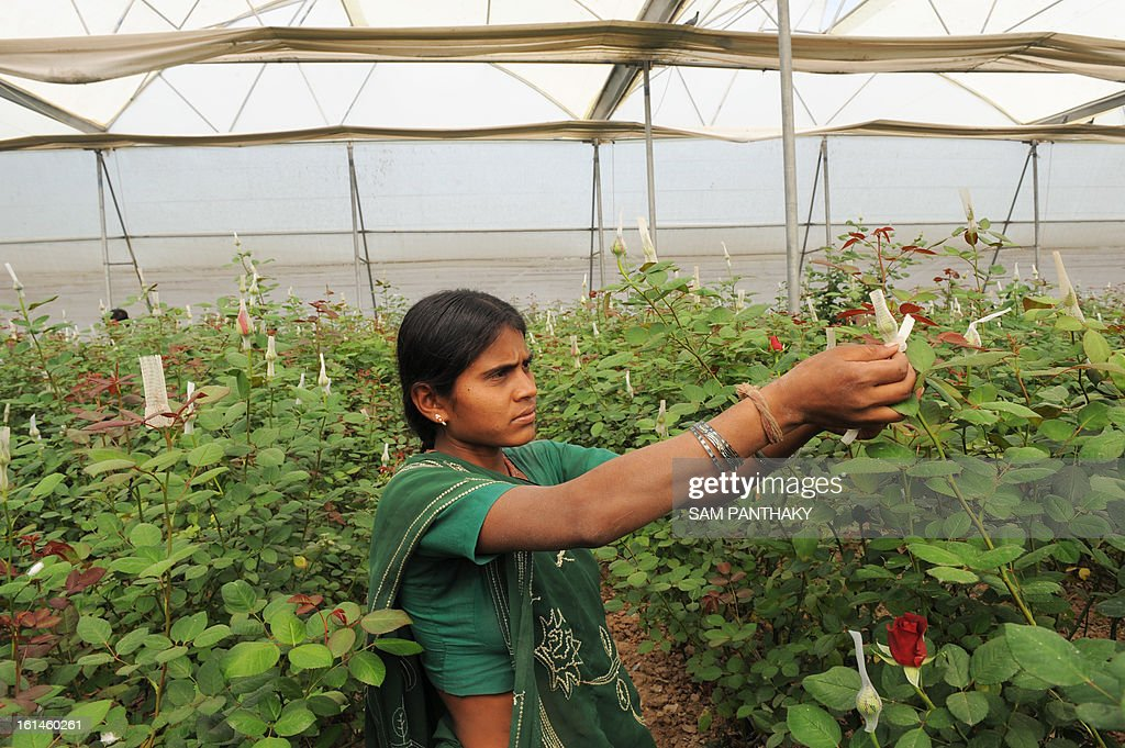 An Indian worker puts a bud cap on a Dutch rose as she works at a greenhouse in the village of Badarkha, some 30 kms from Ahmedabad on February 11, 2013. On the Valentine's Day which falls on February 14, the demand for roses and flowers increases as they are given as gifts. The village has a cold storage facility as well to preserve Dutch roses to meet any last minute demand. AFP PHOTO / Sam PANTHAKY