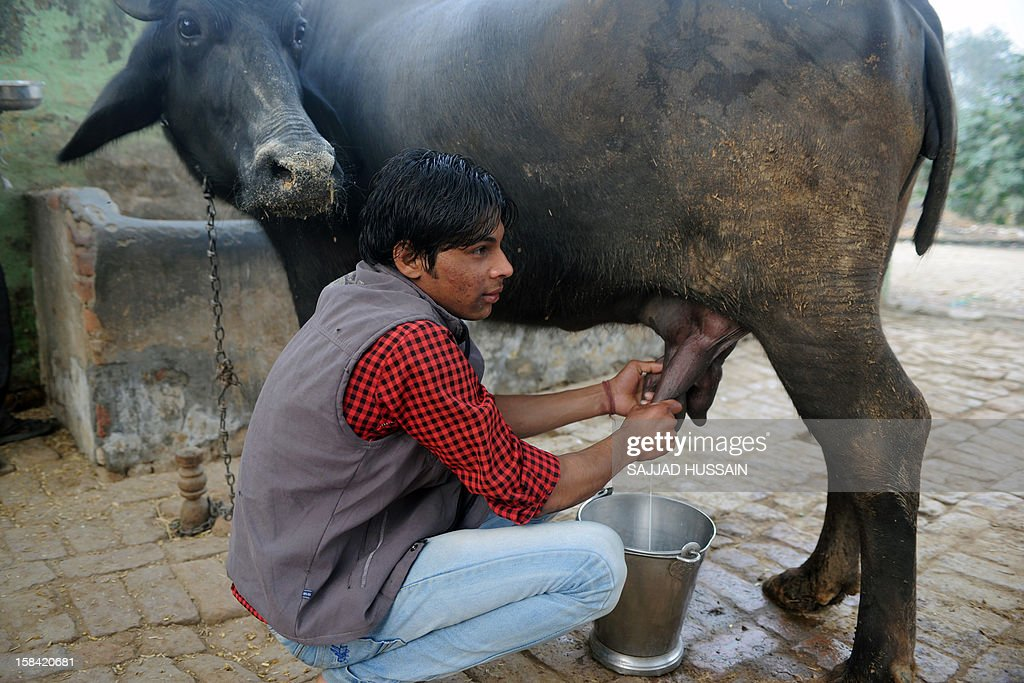An Indian youth milks a buffalo at a village in Bulandshahr on December 16,2012. The latest study from the National Sample Survey Office, a huge undertaking every two years, shows that average monthly per capita expenditure for a rural household was just 1,281 rupees compared with 2,401 rupees in cities.