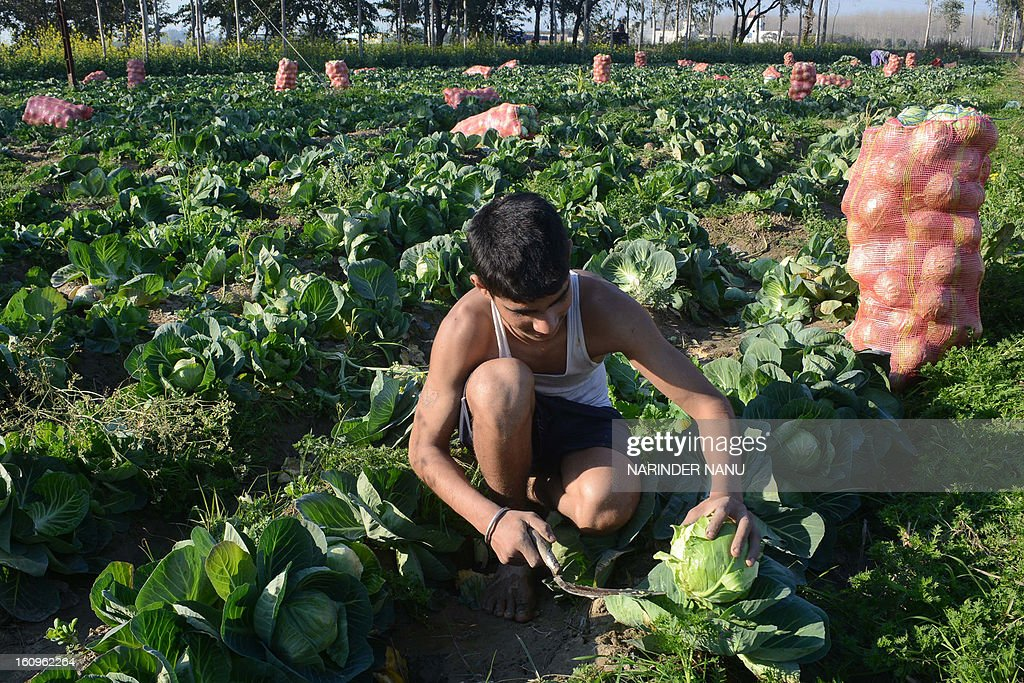 An Indian youth Shamsher Singh works in a cabbage field on the outskirts of Amritsar on February 8, 2013. India's government said the economy will likely register its slowest annual growth in a decade and expand just 5.0 percent in the fiscal year ending in March, citing official estimates released February 7.