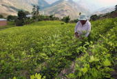 STORY An indigenous peasant harvests coca leaves in Villa Remedios commonly known as Sudyungas department of La Paz on December 10 2007 AFP...