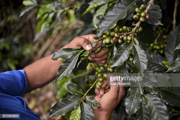 An indigenous youngster of the Nasa ethnic group who used to belong to the Revolutionary Armed Forces of Colombia guerrilla collects coffee at a...