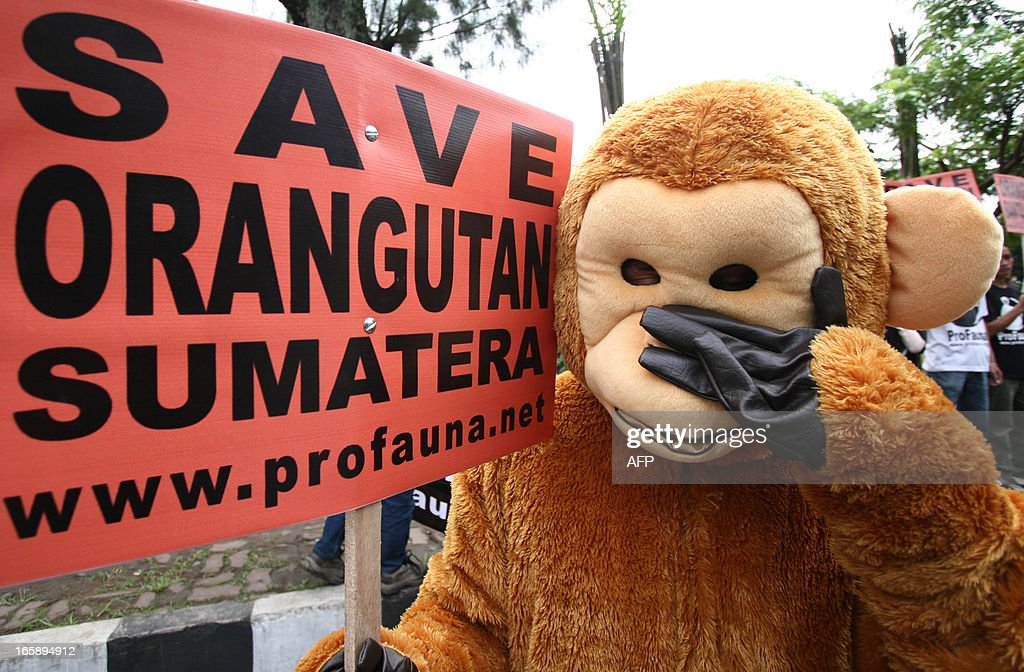 An Indonesian environmental activist from Pro Fauna holds a placard while attending a protest in Malang over the recent conditions of Indonesia's critically endangered orangutan on April 7, 2013. Orangutans are threatened by extinction, with environmentalists saying their natural habitat is being destroyed as forests are cleared to make way for plantations in the country.