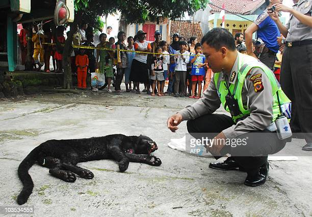 An Indonesian policeman crouches to inspect the body of a Javan leopard after it was shot dead by police in a village near Sukabumi city in West Java...