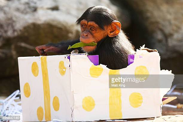 An infant Chimpanzee plays at Taronga Zoo on December 4 2015 in Sydney Australia Taronga's animals were given special Christmasthemed enrichment...