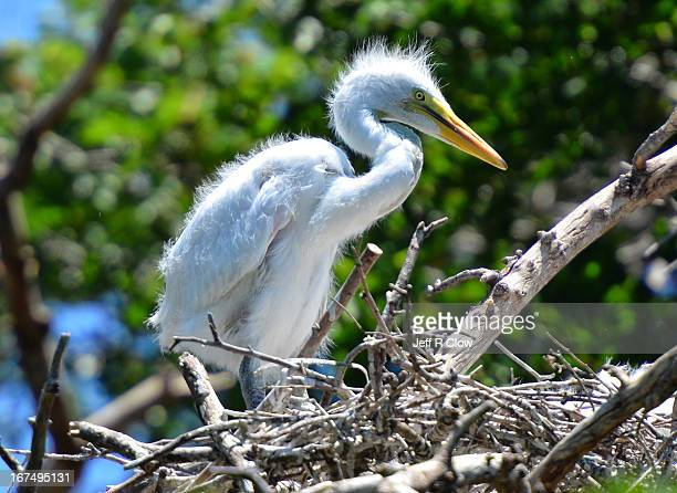 An Infant Egret in the Nest