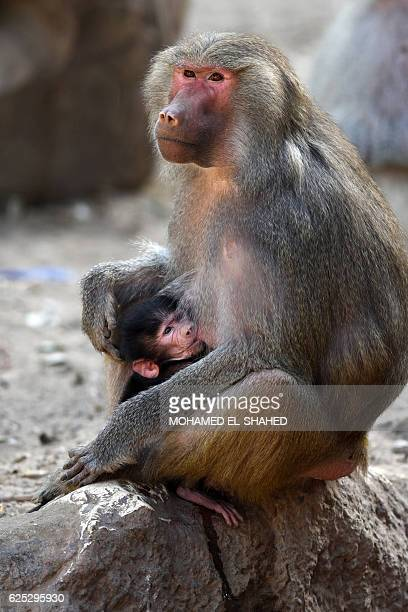 An infant Hamadrya baboon feeds in an enclosure at the Giza zoo in Cairo on November 23 2016 Isma'il Pasha the ruler of Egypt from 18631879 built the...