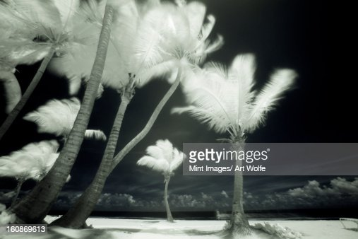 An infrared image of tall Palm trees, Puerto Rico,  : Stock Photo