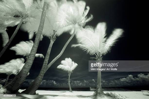 An infrared image of tall Palm trees, Puerto Rico,