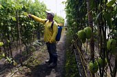 An inmate is seen at a tomato plantation at the Apanteos prison in Santa Ana 66 km west of San Salvador on July 15 2016 Apanteos is a model prison in...