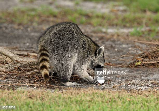 An inquisitive Racoon inspects a golf ball beside the 1st fairway during practice for the 2008 World Golf Championships CA Championship at the Doral...