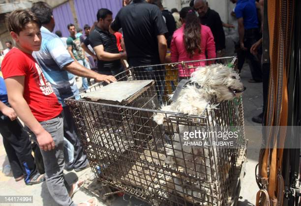 An Iraqi boy looks at a dog displayed in a cage for sale at Baghdad's AlGhazel animal market on May 11 2012 One of the oldest markets in the Iraqi...