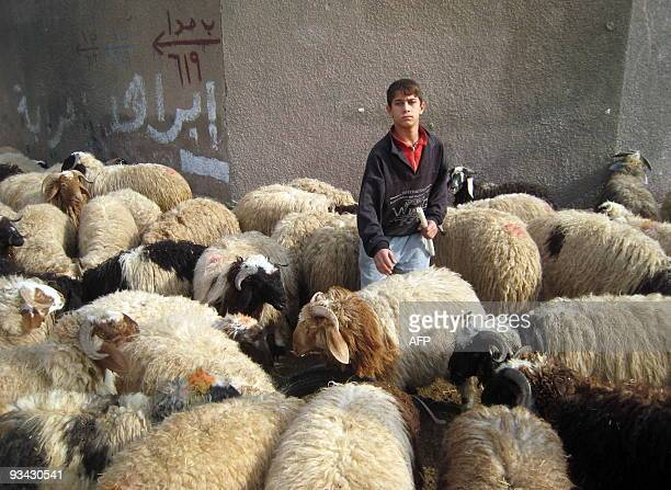 An Iraqi boy walks amongst sheep penned up on the side of a main road waiting for customers in central Baghdad on November 26 in preparation for the...
