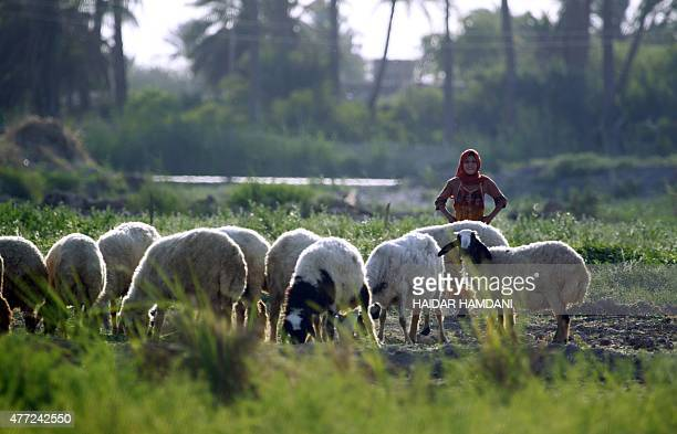 An Iraqi girl stands near a herd of sheep in a rural area of Diwaniyah 65 kms from the holy city of Najaf on June 15 2015 AFP PHOTO / HAIDAR HAMDANI