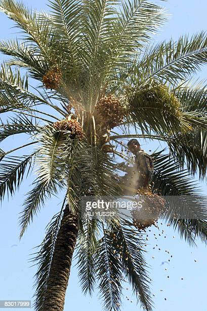 An Iraqi man is seen at the top of a date palm as he chops of clusters in a grove in the Kadhimiyah district of northern Baghdad on September 26 2008...
