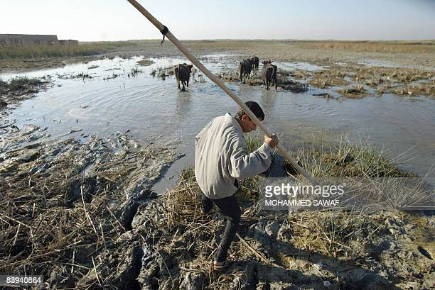 An Iraqi Marsh Arab herds his cattle along the shores of Hor Hamidi 30 kms south of the Souk akShuykh 420 kms south of the capital Baghdad on...