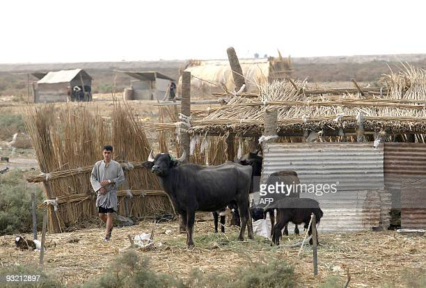 An Iraqi marsh Arab walks in a pen just behind his reed built home located in Madena in the Hor or marshes some 130 km southwest of the southern city...