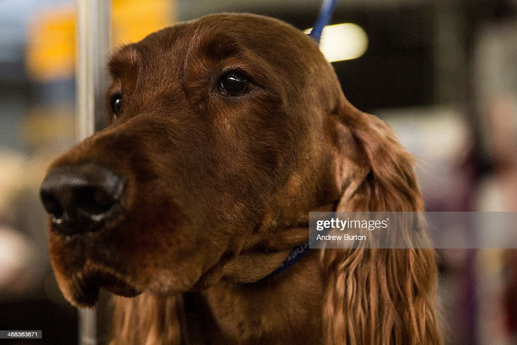 An Irish Setter named 'Adrian' stands at attention during the 138th annual Westminster Dog Show at the Piers 92/94 on February 10, 2014 in New York City. The annual dog show showcases the best dogs from around world for the next two days in New York.