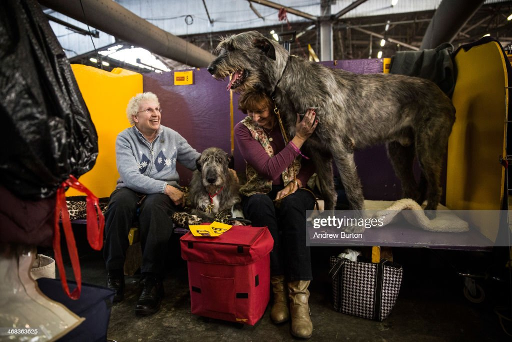 An Irish Wolfhound named 'Tynan' stands next to his owner, Donna Monahan, during the 138th annual Westminster Dog Show at the Piers 92/94 on February 10, 2014 in New York City. The annual dog show showcases the best dogs from around world for the next two days in New York.