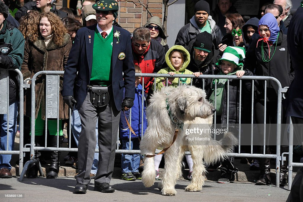 An Irish Wolfhound takes part in the South Boston 2013 St. Patrick's Day Parade on March 17, 2013 in South Boston, Massachusetts.