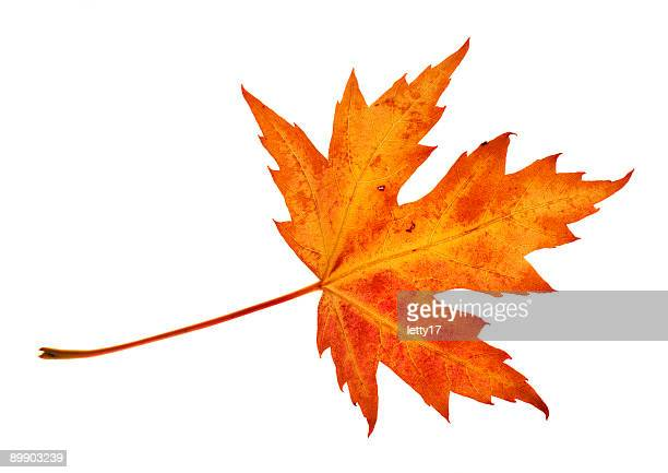 An isolated picture of a red leaf