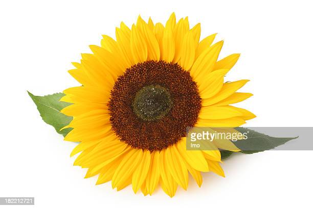An isolated sunflower on a white background