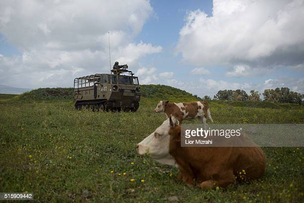 An Israeli army armored personnel carrier passes next to bulls during an army drill on March 16 2016 in Israeliannexed Golan Heights Israeli...