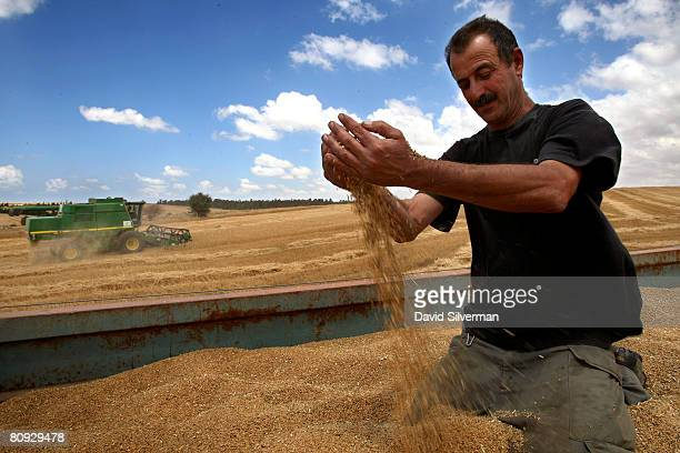 An Israeli farmer inspects the wheat crop harvested from fields along the border with the Gaza Strip on April 30 2008 in the fields near Kibbutz...