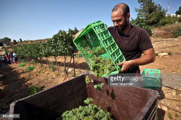 An Israeli man harvests Chardonnay grapes for Psagot Winery in a vineyard on July 24 2017 in the Israeli settlement of Psagot in the West Bank In a...