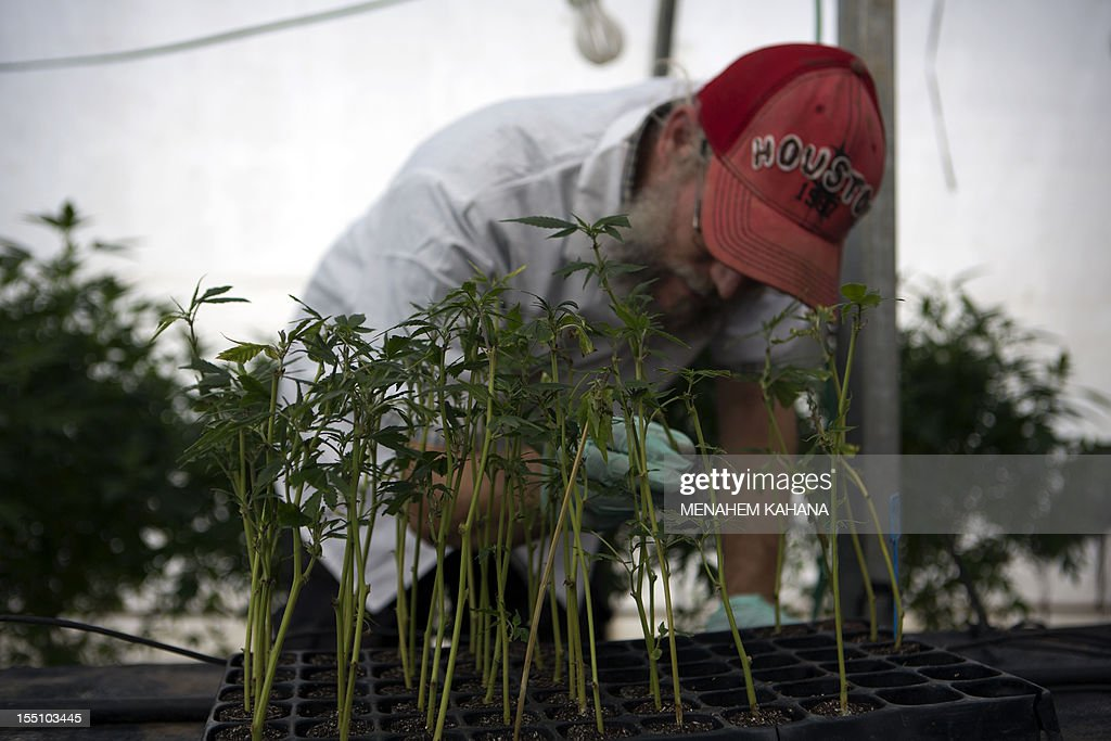 An Israeli man works on marijuana saplings at Tikkun Olam greenhouse, near the northern Israeli city of Safed, on November 1, 2012, where the company grows medical cannabis. Tikkun Olam company has developed unique strains of the drug without psychoactive effects but with improved anti-inflammatory properties.