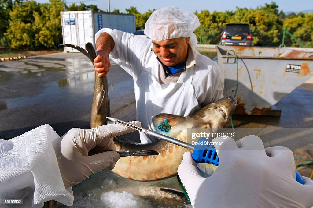 An Israeli marine biologist uses a special instrument to check the eggs of a live female sturgeon, which could hold as much as two kilograms of roe inside of her, before the fish is taken into a caviar processing plant on April 22, 2009 in Kibbutz Dan, Israel. Far from the Caspian Sea, where over fishing and pollution have slashed yields of this prized delicacy, fish farmers at this kibbutz are reaping the rewards of years of hard work and are cashing in on the global caviar crisis. After retail prices for caviar soared to as much as USD 5,000 a kilogram, the kibbutz turned from breeding the fish from imported Russian Osetra stock for its meat to rearing the fish in special ponds for as long as ten years to harvest their roe. According to Yigal Ben Tzvi, the managing director of Caviar Galilee, his caviar is lauded by connoisseurs and orders from Japan, America, Europe and even Russia account for all his annual production of some 2,000 kilograms.