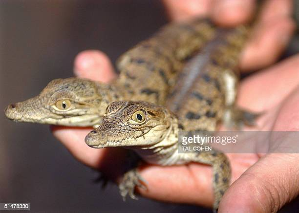 An Israeli nature reserve ranger shows two baby crocodiles found in a private apartment in Tel Aviv 13 October 2004 Israeli police are struggling to...