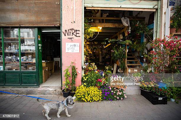 An Israeli woman walks with her dog past a flower shop on April 16 around the Levinsky Market in southern Tel Aviv Israel The majority of the...