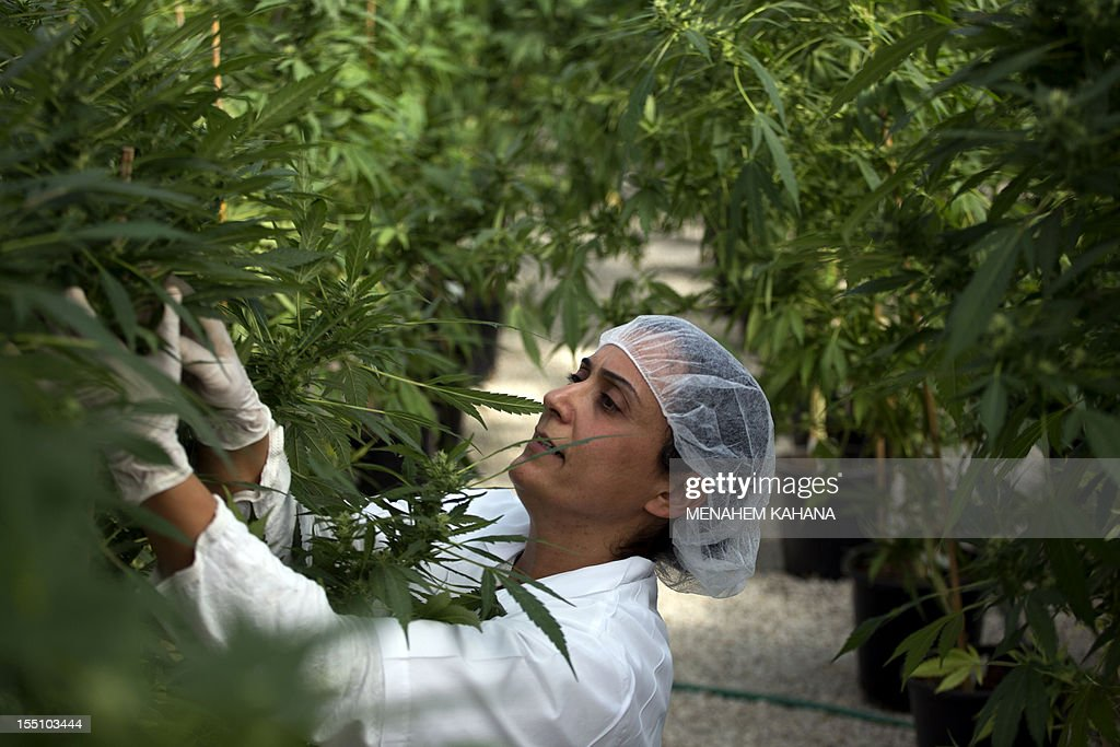 An Israeli woman works on marijuana plants at Tikkun Olam greenhouse, near the northern Israeli city of Safed, on November 1, 2012, where the company grows medical cannabis. Tikkun Olam company has developed unique strains of the drug without psychoactive effects but with improved anti-inflammatory properties.