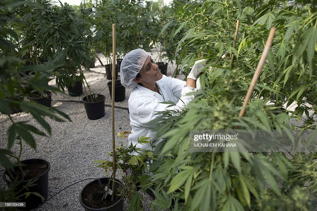 An Israeli woman works on the marijuana plants at Tikkun Olam greenhouse near the northern Israeli city of Safed on November 1 where the company...