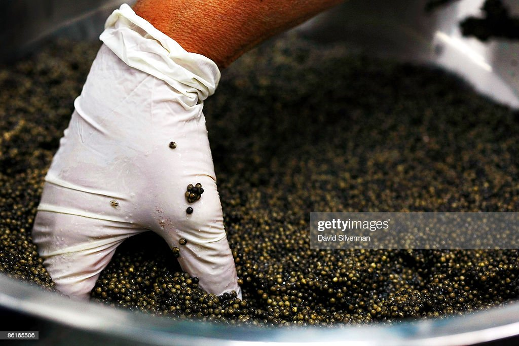 An Israeli worker stirs salt into the more than two kilograms of roe from a single sturgeon as she prepares caviar for packing at a processing plant on April 22, 2009 in Kibbutz Dan, Israel. Far from the Caspian Sea, where over fishing and pollution have slashed yields of this prized delicacy, fish farmers at this kibbutz are reaping the rewards of years of hard work and are cashing in on the global caviar crisis. After retail prices for caviar soared to as much as USD 5,000 a kilogram, the kibbutz turned from breeding the fish from imported Russian Osetra stock for its meat to rearing the fish in special ponds for as long as ten years to harvest their roe. According to Yigal Ben Tzvi, the managing director of Caviar Galilee, his caviar is lauded by connoisseurs and orders from Japan, America, Europe and even Russia account for all his annual production of some 2,000 kilograms.