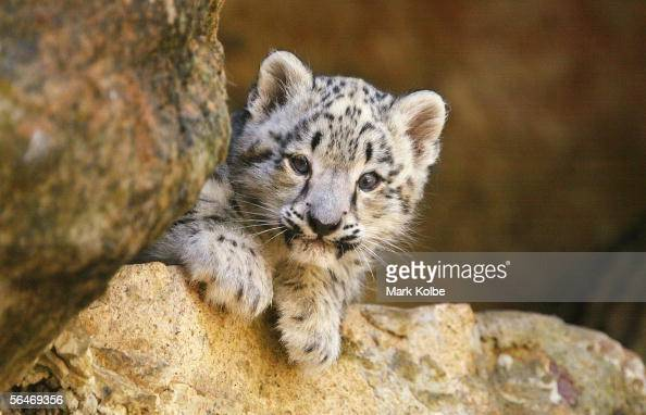 An new twin Snow Leopard cub takes in its surroundings on its first official day on display at Taronga Zoo December 20 2005 in Sydney Australia The...