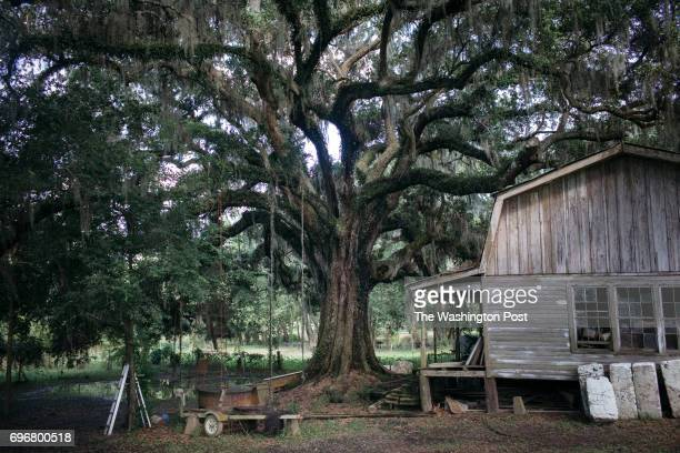 An oak tree that is over 1000 years old sits on Bayou Teche in Norbert LeBlanc's backyard in St Martin Parish on June 7 2017