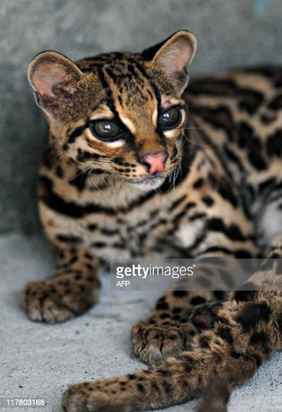 An ocelot in its cage in the Animal Rescue Center at the National Zoo some 16 km south of Managua on June 30 2011 The Nicaraguan National Zoo opened...